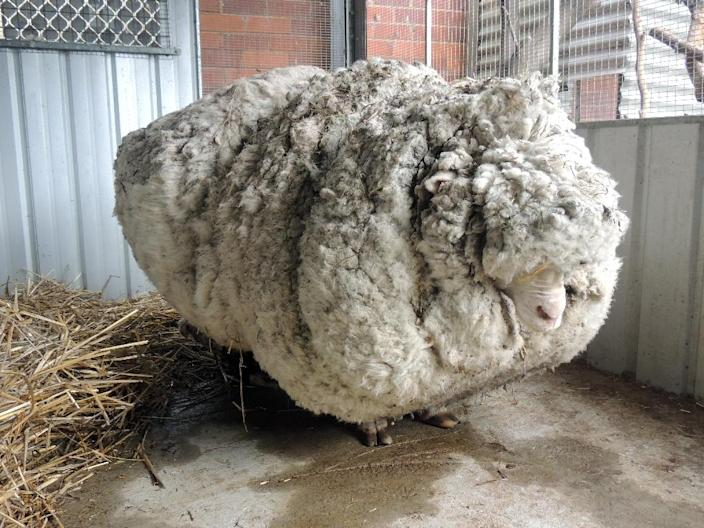 """""""Chris"""" the merino sheep pictured before it was shorn (AFP Photo/)"""