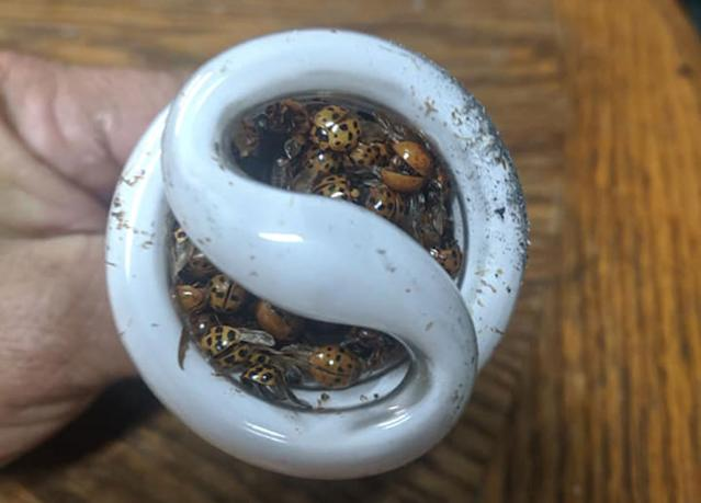 Dead ladybugs stuck in the bulb. Source: Facebook/ Jason Whitaker