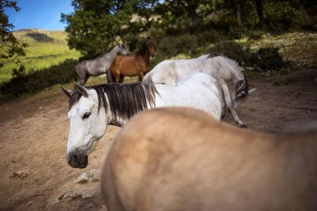 Horses belonging to Fernando Noailles, are seen in Guadalix de la Sierra, outside Madrid, Spain, May 31, 2016. Noailles uses his animals to help people suffering from stress and anxiety. REUTERS/Juan Medina