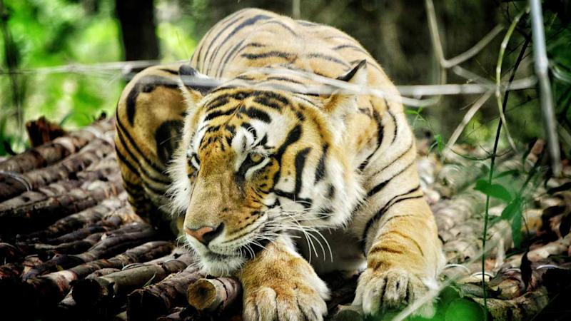 The Royal Bengal tiger. Image: Wikimedia Commons