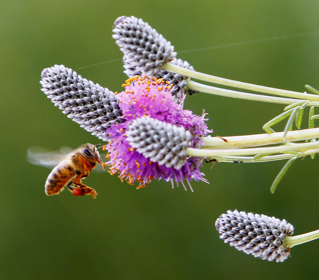 "In this photo taken Tuesday, July 12, 2011, a female honey bee carries pollen in her ""pollen basket"" on her hind leg as she hovers around a purple prairie clover not far from a hive on the rooftop secret garden of City Hall in Chicago. Beekeeping is thriving in cities across the nation, driven by young hobbyists and green entrepreneurs. Honey from city hives makes its way onto swanky restaurant kitchens and behind the bar where it's mixed into cocktails or stars as an ingredient in mead. Membership in beekeeping clubs is skewing younger and growing. The White House garden has beehives. The city of Chicago's hives, nine in all, on rooftops and other government property are just part of the boom.(AP Photo/Charles Rex Arbogast)"