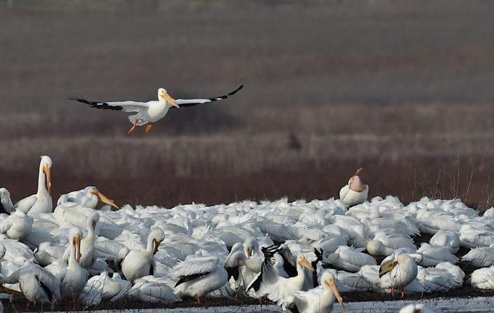 An American white pelican comes in for a landing at Goose Pond Fish and Wildlife Area in Greene County, Wis.