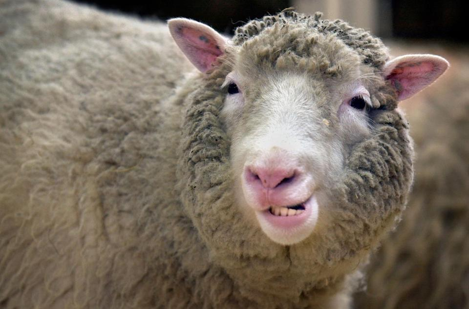 <p>Scientists say early fears that cloning may have given Dolly the Sheep arthritis were unfounded. (PA) </p>