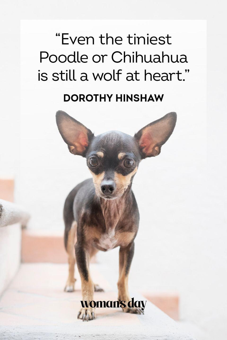 """<p>""""Even the tiniest Poodle or Chihuahua is still a wolf at heart.""""</p>"""