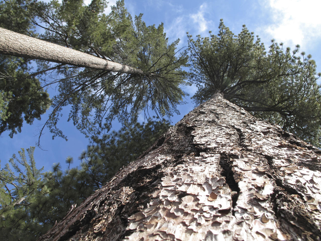 FILE - This April 14, 2017 file photo shows trees near where U.S. Interior Secretary Ryan Zinke visited Kings Canyon National Park, Calif. A year of upheaval at the U.S. Interior Department has seen dozens of senior staff members reassigned and key leadership positions left unfilled, rules considered burdensome to industry shelved, and repeated complaints that dissenting views have been sidelined. (AP Photo/Scott Smith, File)