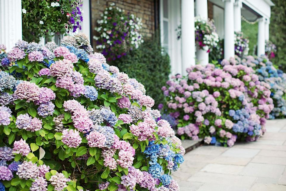 """<p><a href=""""https://www.marthastewart.com/2124759/hydrangea-care-mistakes-fixes"""" rel=""""nofollow noopener"""" target=""""_blank"""" data-ylk=""""slk:Hydrangeas are flowering shrubs"""" class=""""link rapid-noclick-resp"""">Hydrangeas are flowering shrubs</a> that lose their leaves in the fall, only to produce new ones during the next growing season. And while they are plenty popular in border gardens, they can be placed almost anywhere along your landscape—so long as their needs are met in that specific locale, that is. Speaking of their needs: Different hydrangea varieties have unique requirements when it comes to water, sunlight, and soil. Traditionally, these plants prefer to be grown in shady areas that offer their thirsty root systems plenty of water and in acidic soil, which can influence the color of <a href=""""https://www.marthastewart.com/7976074/how-get-hydrangeas-flower-more"""" rel=""""nofollow noopener"""" target=""""_blank"""" data-ylk=""""slk:the blooms the shrub produces"""" class=""""link rapid-noclick-resp"""">the blooms the shrub produces</a>. That doesn't mean that hydrangeas don't also thrive in locales with drier seasons and sunnier skies, though. Just look to more southern states—hydrangeas grow readily there.</p> <p>There's plenty to love about hydrangeas, but one major perk is their extended bloom time; with hundreds varieties that blossom at different times of the year, beginning in the spring and running through fall, there's a shrub for each and every garden. Due to the <a href=""""https://www.marthastewart.com/1538474/how-prune-hydrangeas"""" rel=""""nofollow noopener"""" target=""""_blank"""" data-ylk=""""slk:wide range of hydrangea options"""" class=""""link rapid-noclick-resp"""">wide range of hydrangea options</a> available on the market now, you can find everything from petite versions small enough to be <a href=""""https://www.marthastewart.com/1504653/container-garden-ideas"""" rel=""""nofollow noopener"""" target=""""_blank"""" data-ylk=""""slk:grown in a container"""" class=""""link rapid-noclick-resp"""">grown in a container</a> on your """