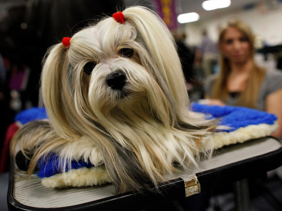 Penny, a lhasa apso, in 2011.
