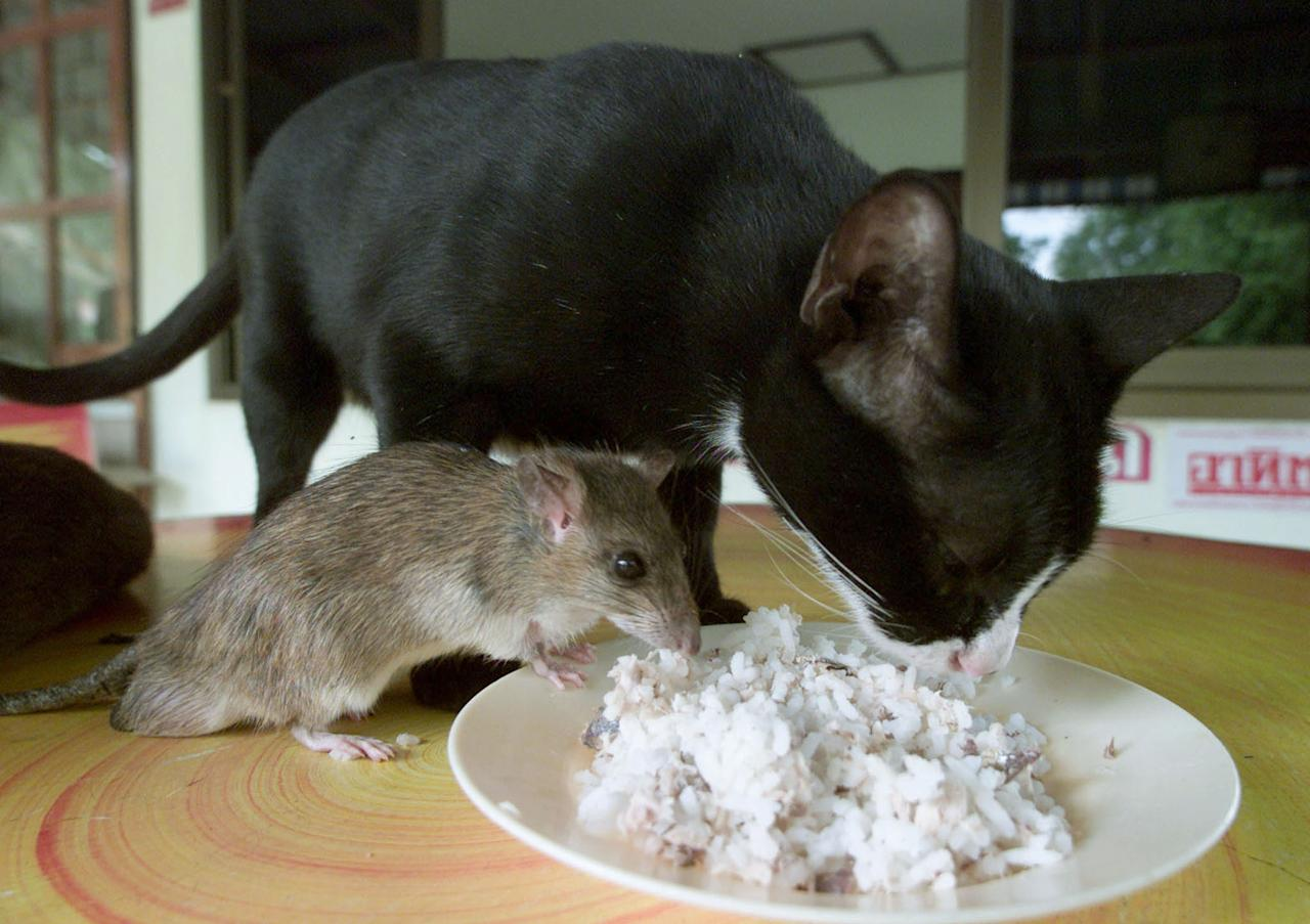 A FEMALE CAT SHARES A MEAL WITH A MALE MOUSE IN PHICHIT.