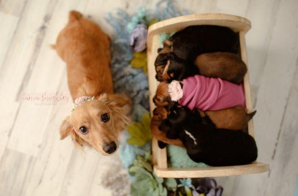 PHOTO: Laura Shockley of Laura Shockley Photography, who also happens to be Sugar's owner, snapped sweet pics of the dog and her newborn puppies. (Laura Shockley )