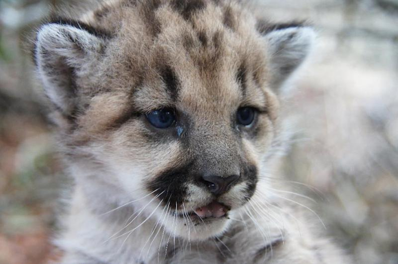 In this Nov. 20, 2013 photo provided by the National Park Service shows a Mountain Lion kitten born in the Santa Monica Mountains National Recreation Area (SMMNRA). The SMMNRA is the largest urban national park in the country, encompassing more than 150,000 acres of mountains and coastline in Ventura and Los Angeles counties. It comprises a seamless network of local, state and federal parks interwoven with private lands and communities. Three mountain lion kittens born last Dec. 2013, in the Santa Monica Mountains were inbred, a wildlife expert said, a troubling sign for a population penned in by a major Southern California freeway and surrounded by urban sprawl. ( AP Photo/National Park Service)