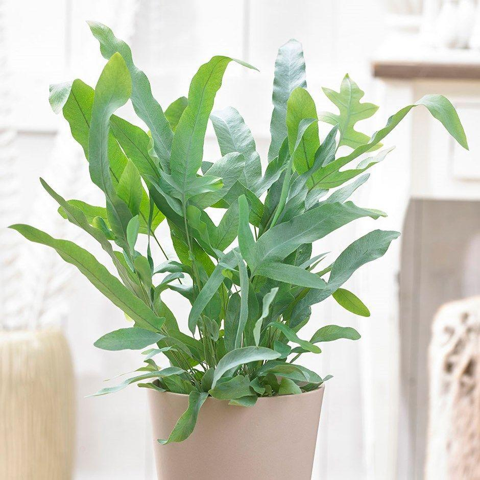 "<p>This unusual fern is perfect for placing in the <a href=""https://www.housebeautiful.com/uk/garden/plants/g33412479/bathroom-plants/"" rel=""nofollow noopener"" target=""_blank"" data-ylk=""slk:bathroom"" class=""link rapid-noclick-resp"">bathroom</a>, as it thrives in the higher humidity levels. It's a great tropical plant to get your hands on.</p><p><a class=""link rapid-noclick-resp"" href=""https://go.redirectingat.com?id=127X1599956&url=https%3A%2F%2Fwww.crocus.co.uk%2Fplants%2F_%2Fphlebodium-aureum-blue-star%2Fclassid.2000031748&sref=https%3A%2F%2Fwww.housebeautiful.com%2Fuk%2Fgarden%2Fplants%2Fg34571764%2Ftrending-houseplants%2F"" rel=""nofollow noopener"" target=""_blank"" data-ylk=""slk:BUY NOW VIA CROCUS"">BUY NOW VIA CROCUS</a></p>"