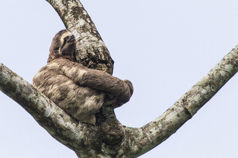 """<p>Much like some humans, these animals love to stay at home as much as possible. Sloths: they're just like us! By staying high above the ground in trees, they're able to keep themselves safe from would-be predators. According the BBC<a href=""""http://www.bbc.com/earth/story/20140916-the-truth-about-sloths"""" rel=""""nofollow noopener"""" target=""""_blank"""" data-ylk=""""slk:, a typical sloth only leaves the trees once a week"""" class=""""link rapid-noclick-resp"""">, a typical sloth only leaves the trees once a week</a>, for a bathroom break to go number two.<br></p>"""