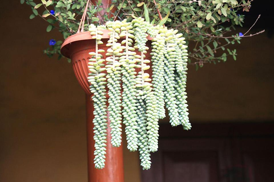 """<p>This succulent has an interesting texture that looks—you guessed it— like a burro's tail. The long stems dangle over the sides of the pot, giving it a one-of-a-kind appearance. Like other succulents, it needs bright light and should dry completely between waterings. </p><p><a class=""""link rapid-noclick-resp"""" href=""""https://www.amazon.com/Shop-Succulents-1-Burrito-SDM-6-Gardeners-Collection/dp/B083PRY2TL?tag=syn-yahoo-20&ascsubtag=%5Bartid%7C10055.g.32440507%5Bsrc%7Cyahoo-us"""" rel=""""nofollow noopener"""" target=""""_blank"""" data-ylk=""""slk:SHOP BURRO'S TAIL"""">SHOP BURRO'S TAIL</a></p>"""