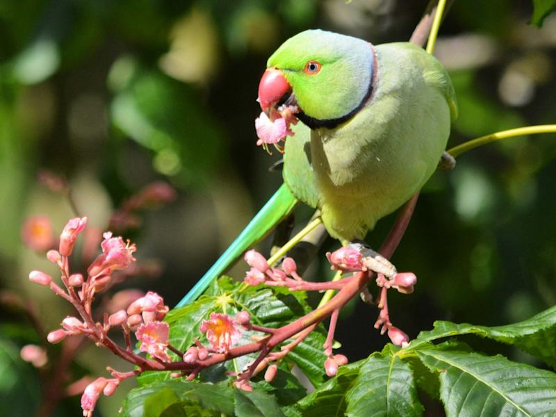 Ring-necked parakeets are now commonplace across some parts of the UK: Matthew Stadlen