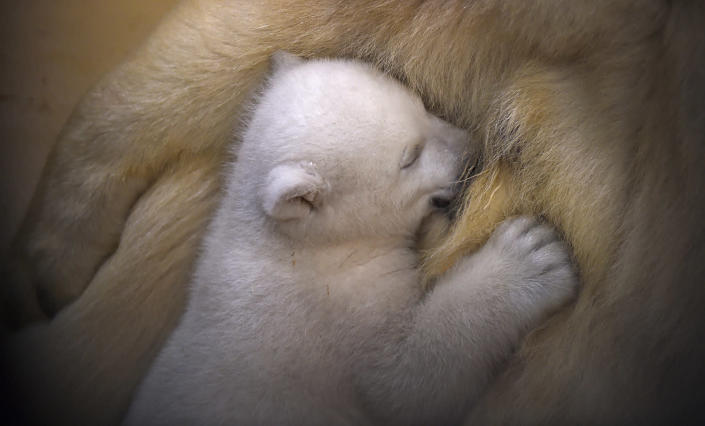 <p>A polar bear cub snuggles up against her mother Valeska, in their enclosure at Bremerhaven's (Bremen's) Zoo by the Sea, Germany March 9, 2016. (REUTERS/Carmen Jaspersen) </p>