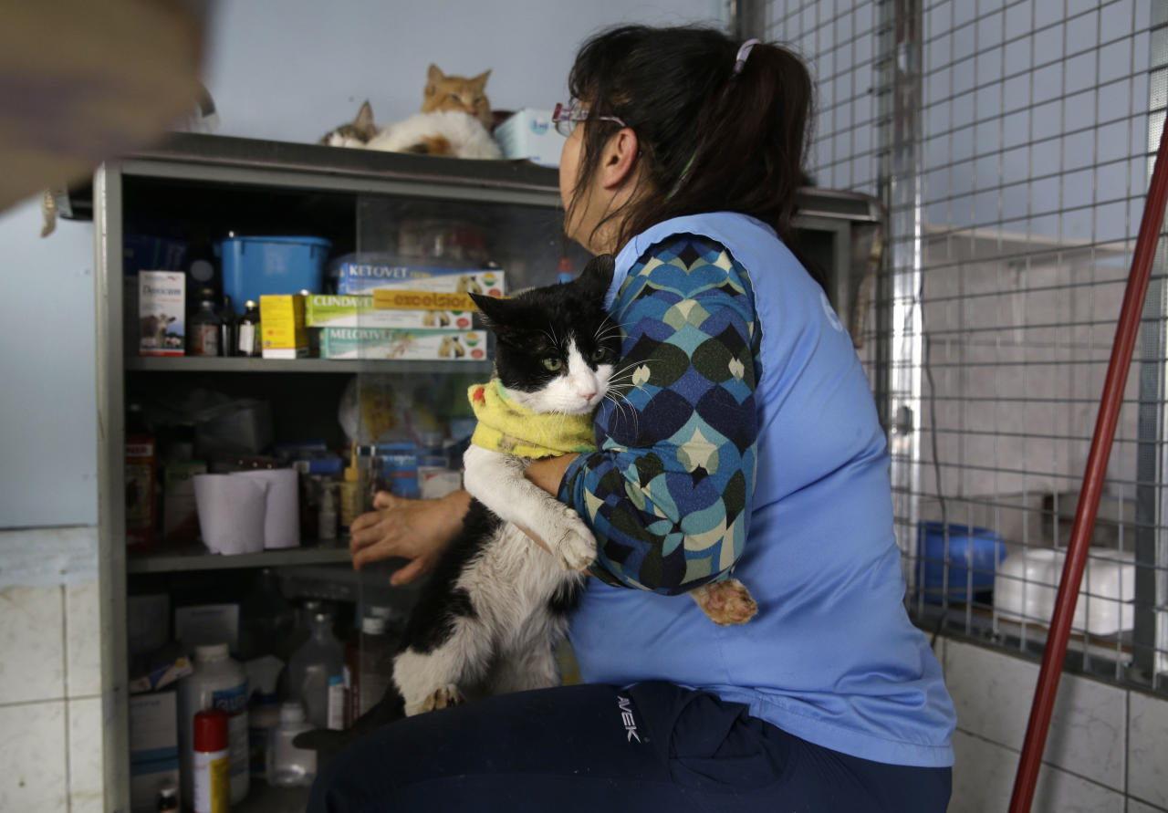 In this Aug. 6, 2014 photo, Maria Torero gets ready to medicate a sick cat at her Cat Hospice, where Torero looks after 175 cats that suffer from feline leukemia, at her home in Lima, Peru. For five years, Torero has ministered to the sick felines, attempting to improve their quality of life as they slowly succumb to the common, fatal retrovirus. (AP Photo/Martin Mejia)