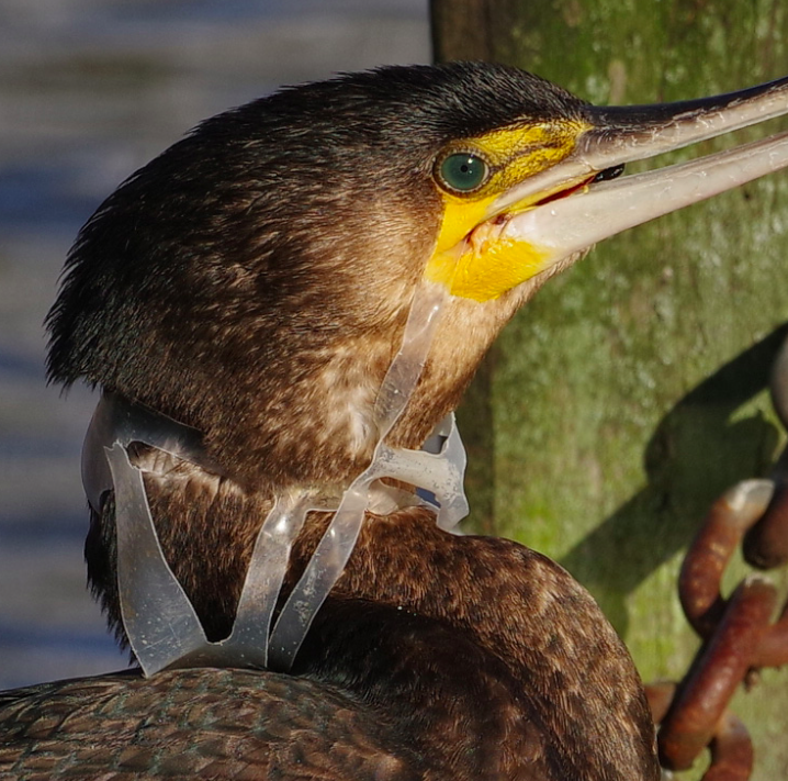 A cormorant has its head and beak trapped in the discarded plastic rings from a pack of beer, hindering it from catching and eating food. (Royal Parks)