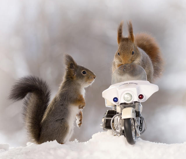 "<p>Weggen added, ""Only some of the six red squirrels climbed onto the motorcycle, but I was really happy that some did."" (Photo: Geert Weggen/Caters News) </p>"