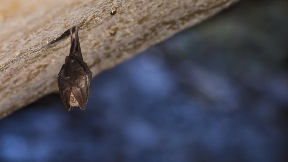 Horseshoe bats are known to carry coronaviruses. Source: Getty