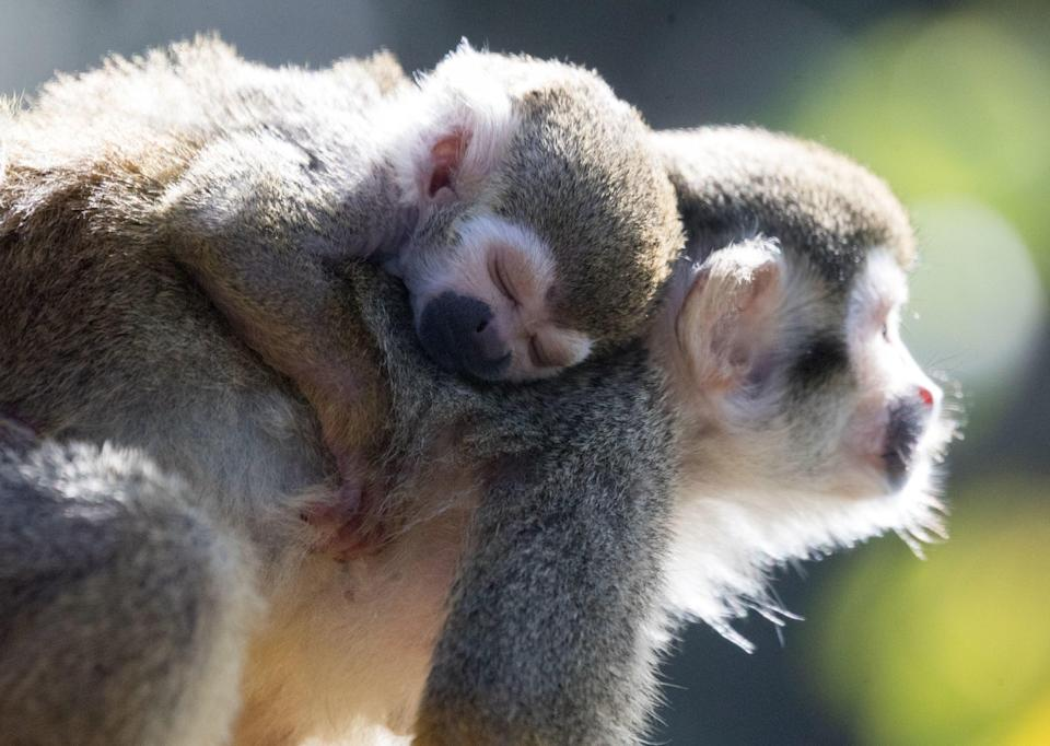 Squirrel monkeys are also being kept as pets in sub-par conditions (File pic/PA)