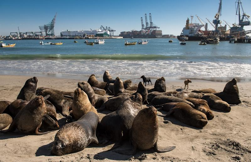 Sea lions hang around on the beach or under the wharf at San Antonio port waiting for fishermen to discard the scraps and entrails from their catches (AFP Photo/MARTIN BERNETTI)