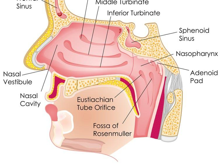 Anatomy of the nose and mouth.