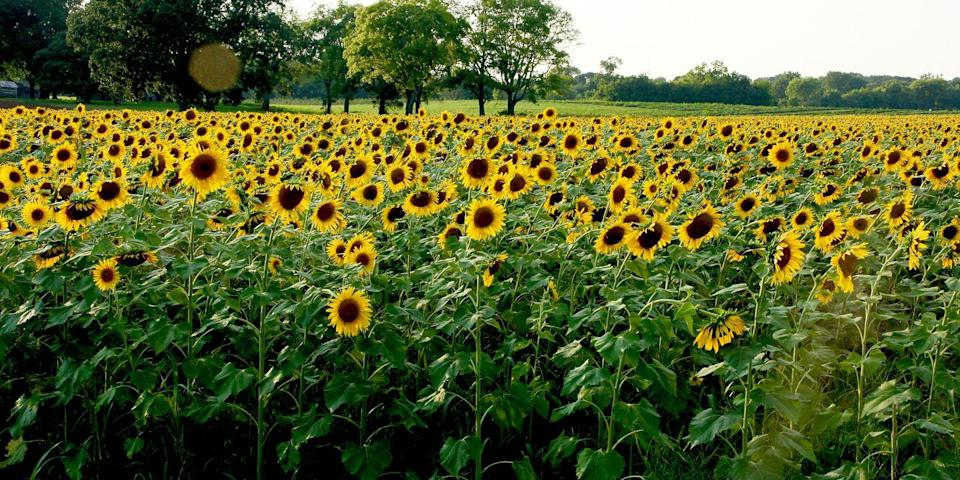 """<p>Enjoy 70 sprawling acres of six-foot-tall sunflowers in <a href=""""https://go.redirectingat.com?id=74968X1596630&url=https%3A%2F%2Fwww.tripadvisor.com%2FTourism-g55138-Knoxville_Tennessee-Vacations.html&sref=https%3A%2F%2Fwww.countryliving.com%2Flife%2Ftravel%2Fg21937858%2Fsunflower-fields-near-me%2F"""" rel=""""nofollow noopener"""" target=""""_blank"""" data-ylk=""""slk:Knoxville, Tennessee"""" class=""""link rapid-noclick-resp"""">Knoxville, Tennessee</a>, thanks to the Forks of the River Wildlife Management Area. Stop by anytime you want in July to see the flowers during peak bloom, or check out their annual free <a href=""""http://www.legacyparks.org/2017sunflowerfestival/"""" rel=""""nofollow noopener"""" target=""""_blank"""" data-ylk=""""slk:Sunflower Festival"""" class=""""link rapid-noclick-resp"""">Sunflower Festival</a>, which includes a guided hike through the blooms and surrounding forest.</p><p><a class=""""link rapid-noclick-resp"""" href=""""https://go.redirectingat.com?id=74968X1596630&url=https%3A%2F%2Fwww.tripadvisor.com%2FAttraction_Review-g55138-d8401930-Reviews-Forks_of_the_River_Wildlife_Management_Area-Knoxville_Tennessee.html&sref=https%3A%2F%2Fwww.countryliving.com%2Flife%2Ftravel%2Fg21937858%2Fsunflower-fields-near-me%2F"""" rel=""""nofollow noopener"""" target=""""_blank"""" data-ylk=""""slk:PLAN YOUR TRIP"""">PLAN YOUR TRIP</a></p>"""