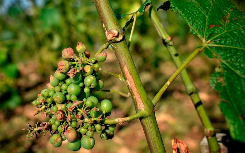 Grapes, near Pommard in France's Burgundy region, destroyed after a summer hailstorm that caused up to 70 per cent of crops to fail in 2013 - AFP