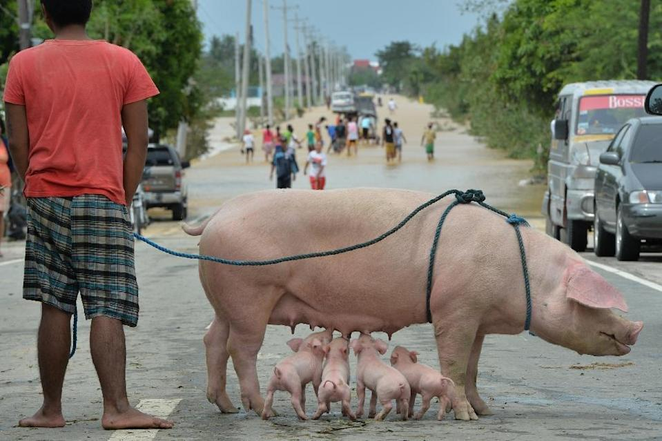 A Philippine resident stands with his rescued sow and suckling piglets as people (background) wade through a flooded highway on the outskirts of Manila on October 19, 2015, a day after Typhoon Koppu hit Aurora province (AFP Photo/Ted Aljibe)