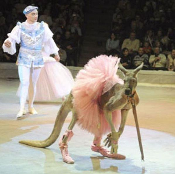 A photo of a kangaroo dressed as a ballerina at a Russian circus has infuriated Australian social media users. Source: Instagram/li_help_animals