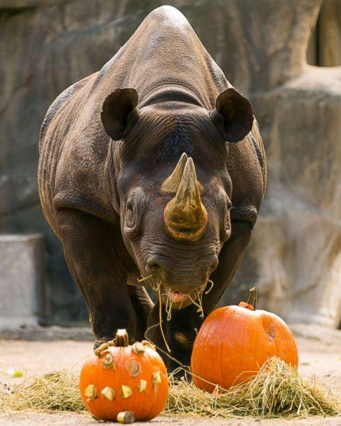 PHOTO: An eastern black rhino grazed pumpkins at the Lincoln Park Zoo in Chicago. (Todd Rosenberg Photography)