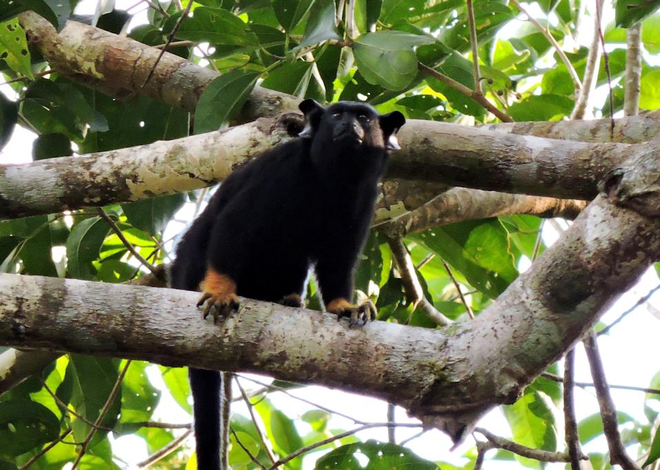 Red-handed tamarins