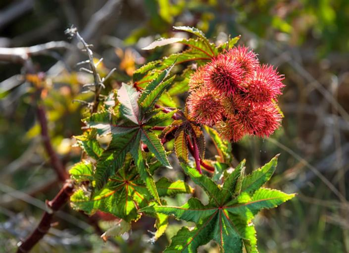 """<body> <p>Castor bean is a fast-growing and <a rel=""""nofollow noopener"""" href="""" http://www.bobvila.com/slideshow/7-new-must-have-annuals-2439#.VWzEYGRViko?bv=yahoo"""" target=""""_blank"""" data-ylk=""""slk:showy annual"""" class=""""link rapid-noclick-resp"""">showy annual</a> with large leaves and clustered flowers. All parts of this impressive plant are poisonous, though, especially the seed. It's not a good candidate for a gardener who shares property with animals, as it's toxic to not only small pets like dogs, cats, and rabbits, but also larger animals like cattle, sheep, and horses.</p> <p><strong>Related: <a rel=""""nofollow noopener"""" href="""" http://www.bobvila.com/slideshow/10-common-garden-problems-and-how-to-fix-them-47754?bv=relss#.VWzELWRViko?bv=yahoo"""" target=""""_blank"""" data-ylk=""""slk:10 Common Garden Problems—and How to Fix Them"""" class=""""link rapid-noclick-resp"""">10 Common Garden Problems—and How to Fix Them</a> </strong> </p> </body>"""