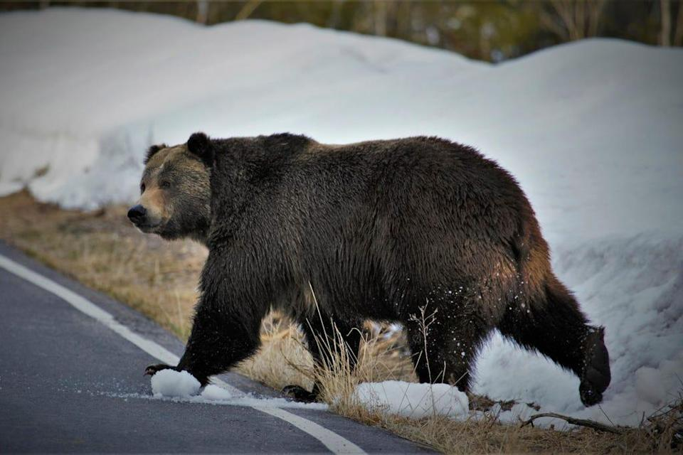 In this undated photo provided by the U.S. Fish and Wildlife Service is a grizzly bear just north of the National Elk Refuge in Grand Teton National Park, Wyo.
