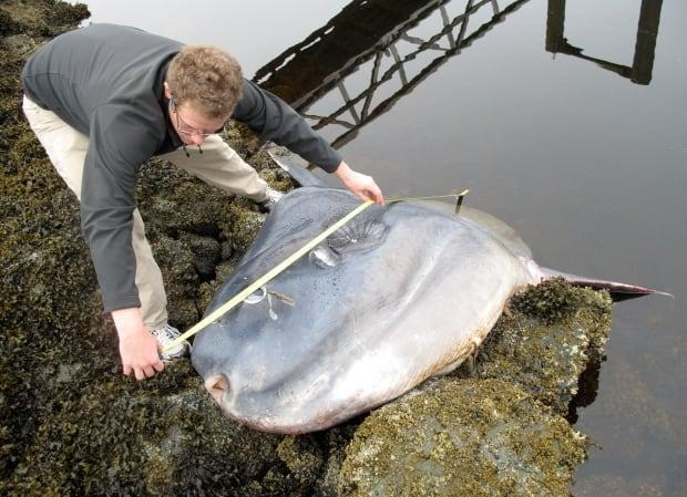 Former environmental consultant Matthew Drake measuring a stranded mola in 2011. Researchers have now identified it as a species of mola previously unrecognized in Canadian waters.