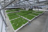 Modules of Genovese basil and other plants are seen in the Iron Ox greenhouse in Gilroy, California