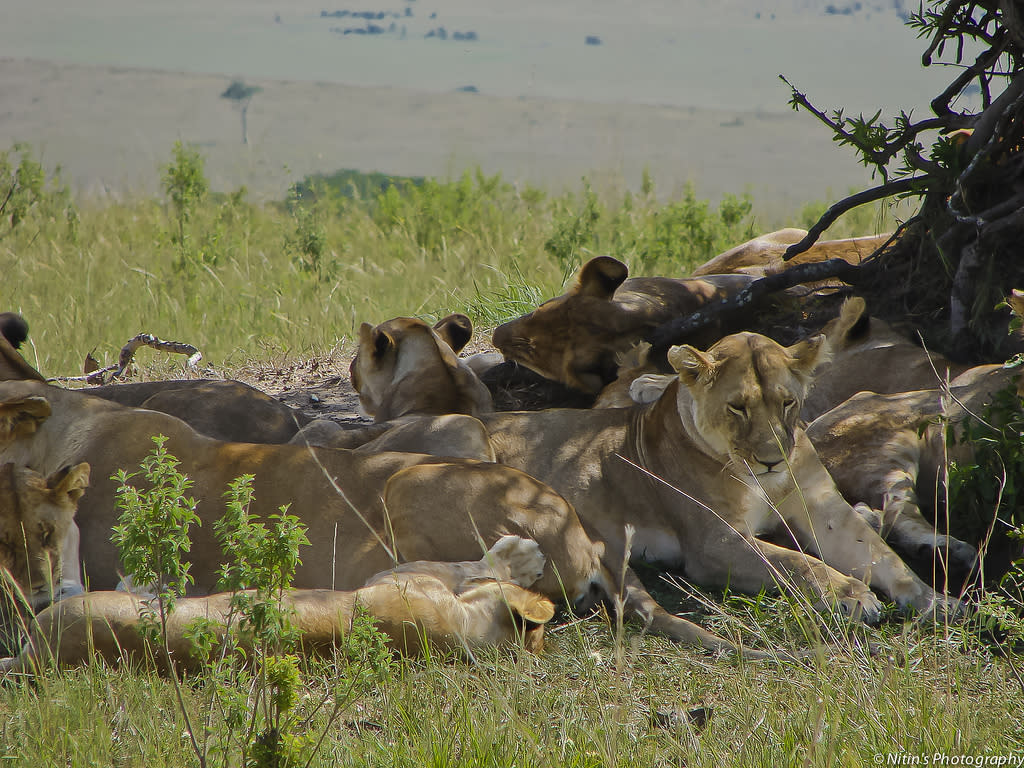 A pride of lions rests under a solitary tree in the hot afternoon sun.