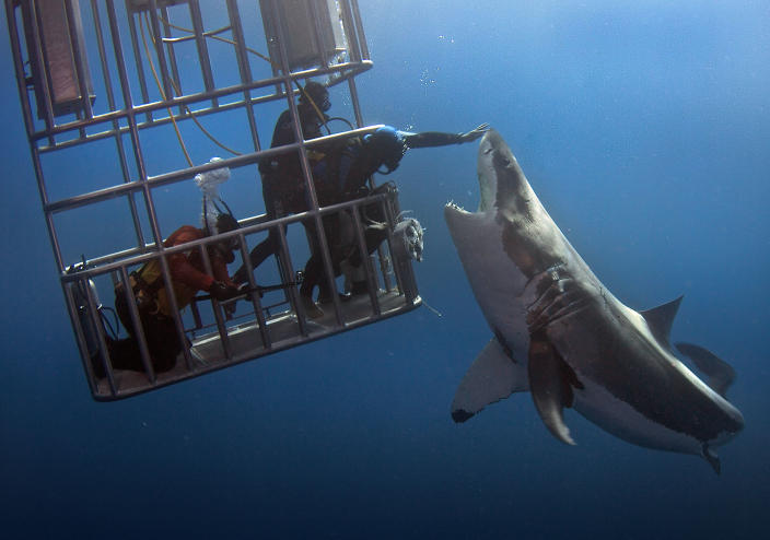 Daredevil divers teasing a great white shark. (Photo: Dmitry Vasyanovich/Caters News)