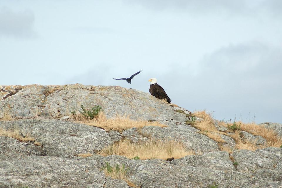 <p>While our boat hugged the coastline, we spotted a beautiful bald eagle perched on a rock. In large swooping motions, a black crow dive-bombed the eagle over and over again. <em>What's happening? Why is the crow attacking?</em> Eagles have a taste for young crows, and chicks still in the nest are easy prey. As crows see adult eagles as danger, more than likely this eagle was way too close to the crow's nest for comfort. </p>