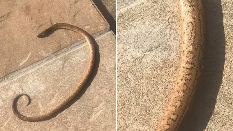 Picture of the decapitated snake which was found on the pavers on a womans property in Queensland.