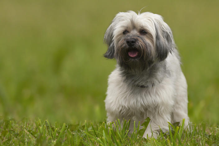 Havanese dog after a haitcut!