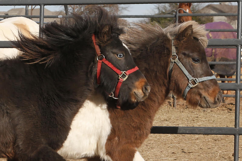 In this Wednesday, Dec. 11, 2019 photo, newly acquired miniature horses run in their paddock at Nexus Equine in Edmond, Okla. In partnership with a pilot program run by the American Society for the Prevention of Cruelty to Animals, Nexus Equine works to rescue horses and re-home them, providing care and training before the horses are adopted out. (AP Photo/Sue Ogrocki)