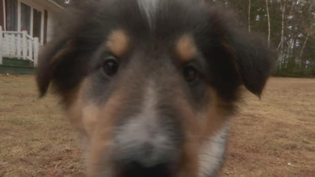 The collie pup got up close and personal with the CBC camera.