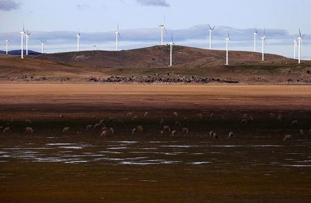 FILE PHOTO: Sheep graze in front of wind turbines that are part of the Infigen Energy's Capital Windfarm located on the hills surrounding Lake George, near the Australian capital city of Canberra, Australia, July 17, 2015.   REUTERS/David Gray/File Photo