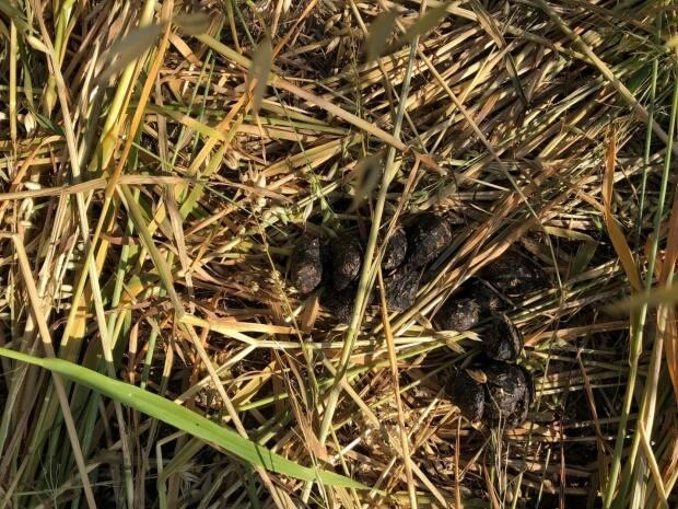Albertans are more likely to see signs of a wild boar, such as this scat, than to see a boar.