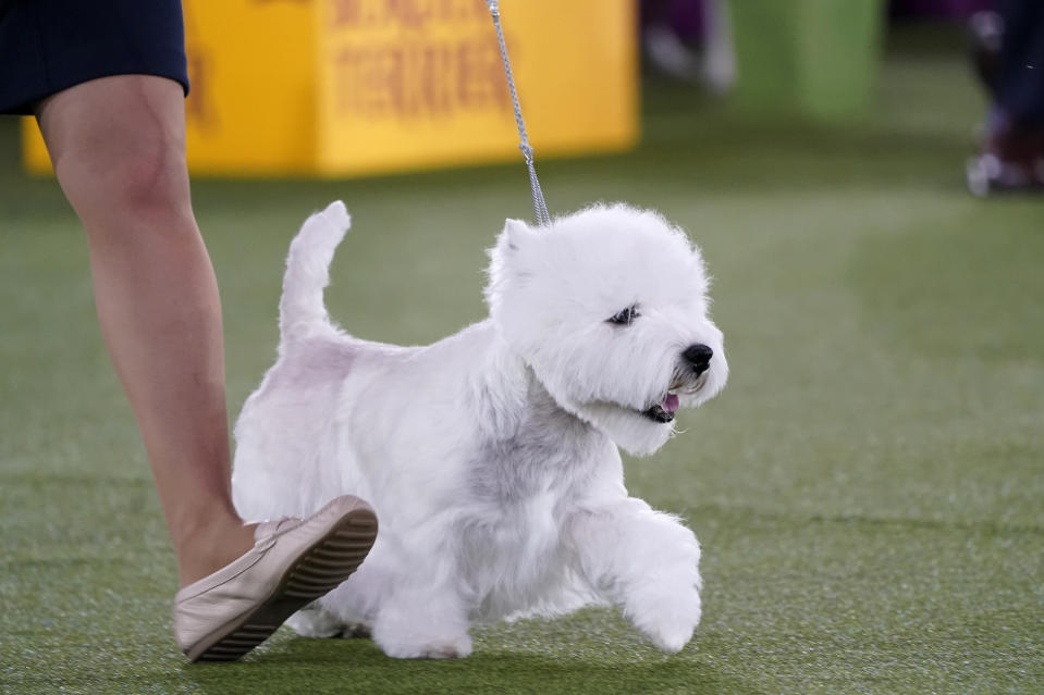 A West Highland white terrier named Boy trots with its handler during judging in the terrier group at the Westminster Kennel Club dog show, Sunday, June 13, 2021, in Tarrytown, N.Y. The dog won best in group. (AP Photo/Kathy Willens)
