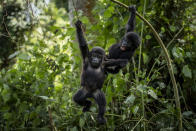 Two one-year old baby mountain gorillas swing from branches as they play together in the forest of Bwindi Impenetrable National Park in southwestern Uganda Saturday, April 3, 2021. (AP Photo)