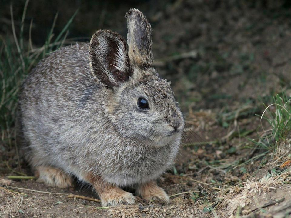 """<p>These might look like your garden variety bunnies, but these endangered cuties, also known as Brachylagus Idahoensis, <a href=""""https://wdfw.wa.gov/species-habitats/species/brachylagus-idahoensis"""" rel=""""nofollow noopener"""" target=""""_blank"""" data-ylk=""""slk:will only grow to about 11 inches long and weigh only a pound at most"""" class=""""link rapid-noclick-resp"""">will only grow to about 11 inches long and weigh only a pound at most</a>, according to the Washington Department of Fish and Wildlife. </p>"""