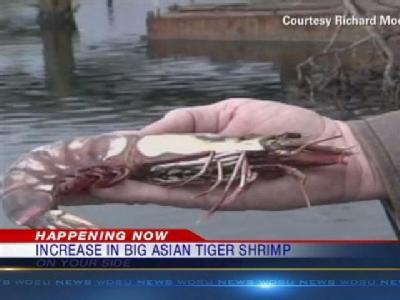 Federal biologists find an increase in the number of big Asian tiger shrimp in the Gulf of Mexico.