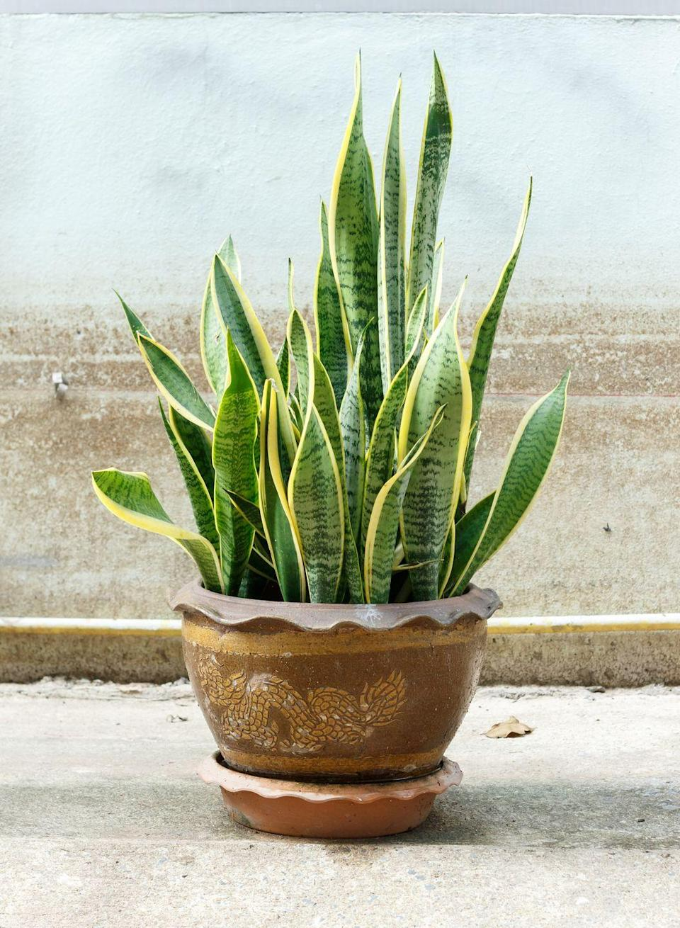 """<p>Though it also goes by the mildly offensive name """"mother-in-law's tongue,"""" we prefer to call the <em>Sansevieria Trifasciata</em> <em>L</em><em>aurentii </em>by its Slytherin-like name: snake plant. Even the blackest thumb can care for this hearty, air-cleaning plant.</p><p><a class=""""link rapid-noclick-resp"""" href=""""https://www.amazon.com/AMERICAN-PLANT-EXCHANGE-Sansevieria-Trifasciata/dp/B07J5PMBDB/?tag=syn-yahoo-20&ascsubtag=%5Bartid%7C2141.g.28325586%5Bsrc%7Cyahoo-us"""" rel=""""nofollow noopener"""" target=""""_blank"""" data-ylk=""""slk:SHOP SNAKE PLANTS"""">SHOP SNAKE PLANTS</a></p>"""